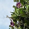 Cobaea scandens-IMG 9322.jpg