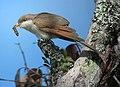 Coccyzus americanus Cuco americano Yellow-billed Cuckoo (10761116064).jpg