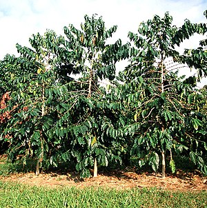 Coffee production in Hawaii - Coffee trees in Hawaii