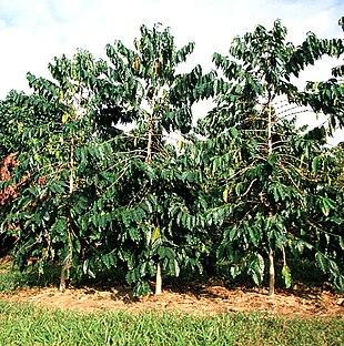 Albero da frutto wikipedia for Albero da frutto nano