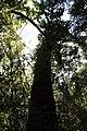 Coigüe de Chiloe (Nothofagus Nitida) en sendero El Tepual.jpg