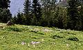 Colchicum sp., Sisdağı 17.jpg