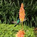 Colibri thalassinus-IMG 9044.JPG