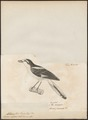 Collyrio nubicus - 1700-1880 - Print - Iconographia Zoologica - Special Collections University of Amsterdam - UBA01 IZ16600399.tif