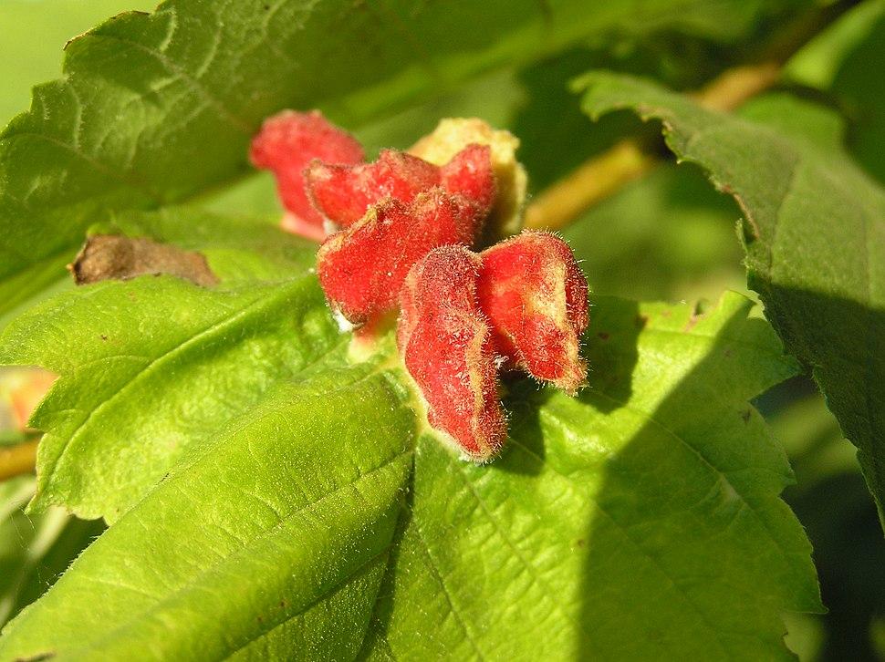 Colopha compressa 1 beentree