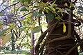 Combretumfruticosum.jpg
