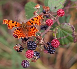 Comma (Polygonia c-album).jpg