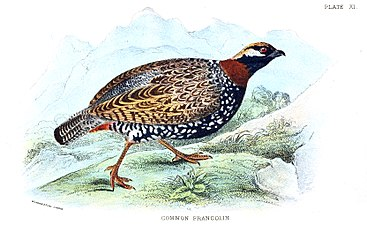 CommonFrancolin.jpg