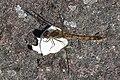 Common Darter (Sympetrum striolatum) - Oslo, Norway 2020-08-30.jpg
