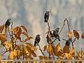 Common Starling (Sturnus vulgaris) (23823805212).jpg