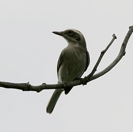 Common Woodshrike (Tephrodornis pondicerianus) in Narshapur, AP W IMG 1095.jpg
