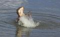 Common hippopotamus, Hippopotamus amphibius, at Letaba, Kruger National Park, South Africa (19604270084).jpg