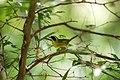 Common yellowthroat (46954913574).jpg