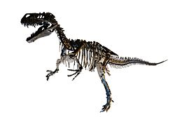 Complete skeleton of Torvosaurus white background.jpg