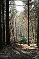Conifer Plantation Woodland - geograph.org.uk - 412901.jpg