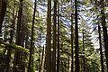 Conifers - Green Valley 2014-05-08 1628.JPG