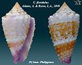 Conus floridulus 3.jpg