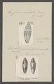 Conus mitratus - - Print - Iconographia Zoologica - Special Collections University of Amsterdam - UBAINV0274 085 10 0086.tif