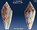 Conus yemenensis 1.jpg