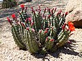 Coonly Garden, Echinocereus triglochidiatus - Claret Cup Hedgehog, Mayo Clinic Phoenix, Spring 2013 - panoramio (1).jpg
