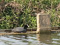 Coot on the weir - geograph.org.uk - 2388161.jpg
