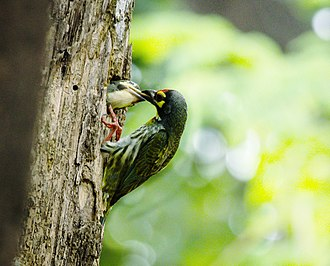 Coppersmith barbet - Image: Coppersmith barbet 2