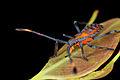 Coreid Bug instar (15213109004).jpg