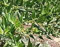 Coriaria myrtifolia 05.jpg