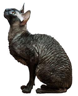 Rex katt allergi