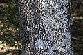 Cornus florida CG NBG LR.jpg