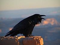 Corvus corax (NPS)