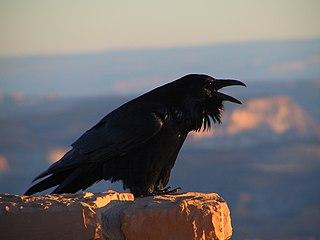 Krkavec čierny lat. Corvus corax