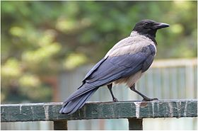 Corvus cornix at Giza Zoo by Hatem Moushir.JPG