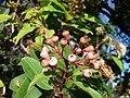 Corymbia (Eucalyptus) calophylla, Myrtaceae (26021796345).jpg