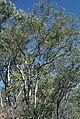 Corymbia jacobsiana.jpg