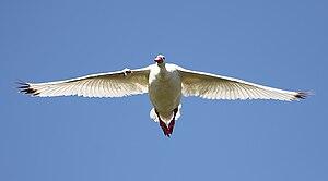 Coscoroba swan - Flying