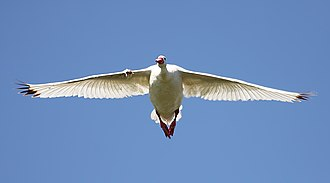 Coscoroba swan - Flying