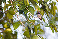 Costa's Hummingbird (23202706179).jpg