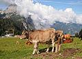 Cows on Ehrwalder Alm.jpg