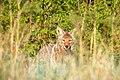 Coyote, Bandelier (2769369918).jpg