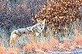 Coyote (32306715725).jpg