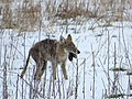 Coyote Eating a Rodent, Photo 1 of 3 (26233560930).jpg