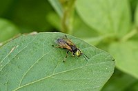 Crabronidae 1215.jpg