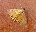 Crambidae Pyraustinae Uresiphita gilvata - Flickr - gailhampshire.jpg
