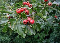 The fruit of Common Hawthorn (C. monogyna)