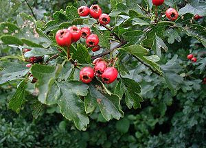 The fruit of Common Hawthorn (C. monogyna)