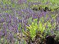 Creeping sage & wood fern (6901067838).jpg