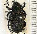 Cremastocheilus armatus Walker, 1866 - 5492099028.jpg