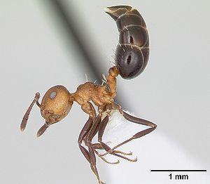 Crematogaster - Worker caste of C. corticicola