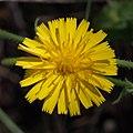 Crepidinae sp. (Slovenia).jpg